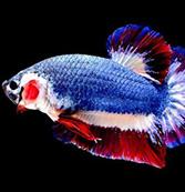 身披藍紅白國旗顏色 泰國鬥魚拍賣約1萬人民幣